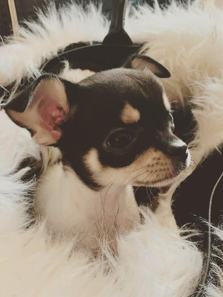 Chihuahua Rocco 3 mesi - Pet Therapy Verona